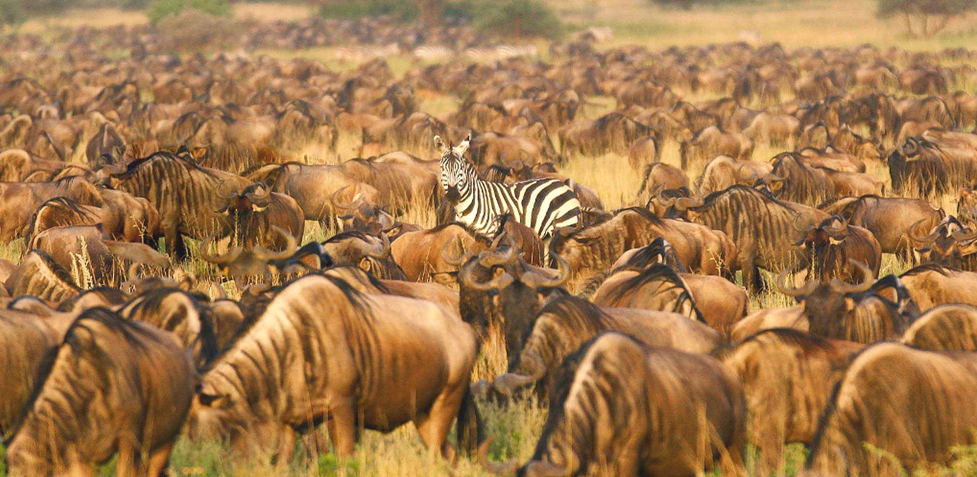 The Serengeti Migration
