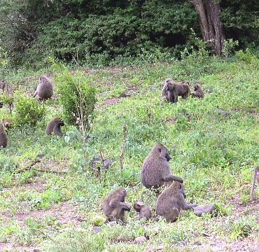 Baboons in Lake Manyara NP