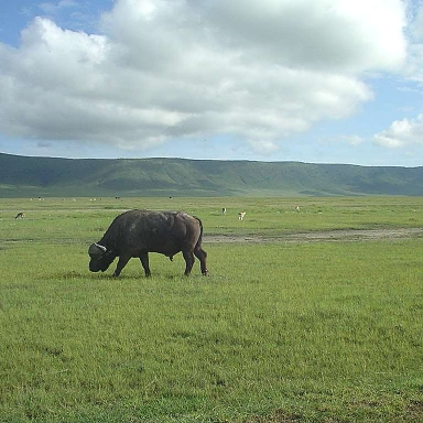 Buffalo in the Ngorongoro Crater