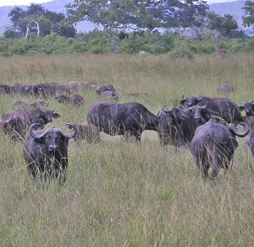Buffalos in Mikumi National Park