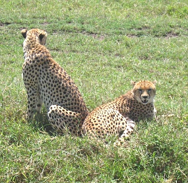 Cheeters in the Ngorongoro Crater