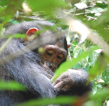 Chimp in Gombe