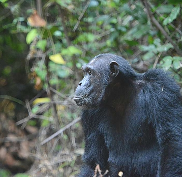 Chimps at Mahale Mountains