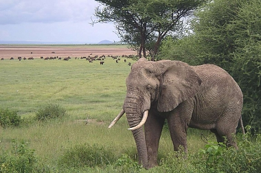 Elephant in the Ngorongoro