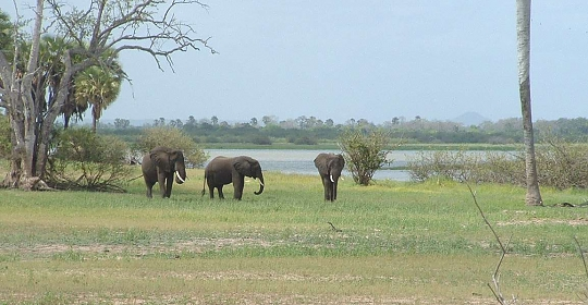 Elephants in the Selous