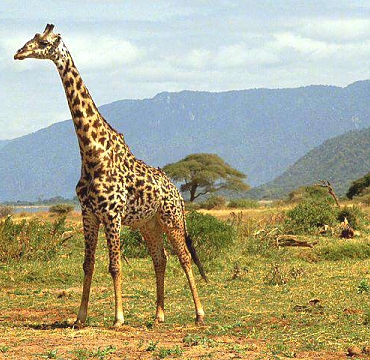 Giraffes in Lake Manyara NP
