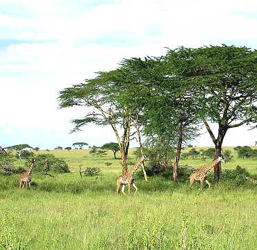 Girrafes in the Serengeti National Park