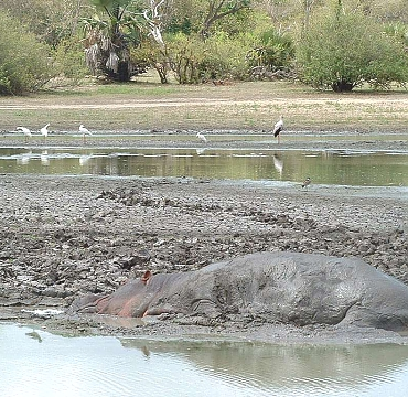 Hippos in Selous River