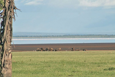 Lake Manyara National Park Flamingos and Buffalos