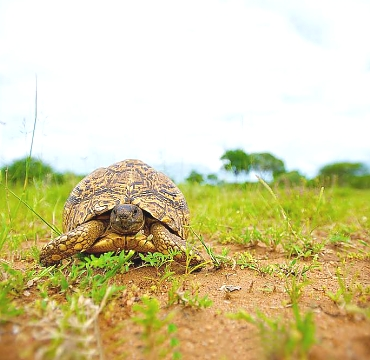 Tortoise, Mkomazi National Park