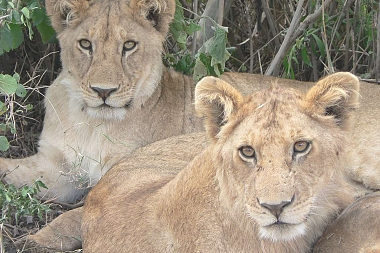 Lions in Lake Manyara Park