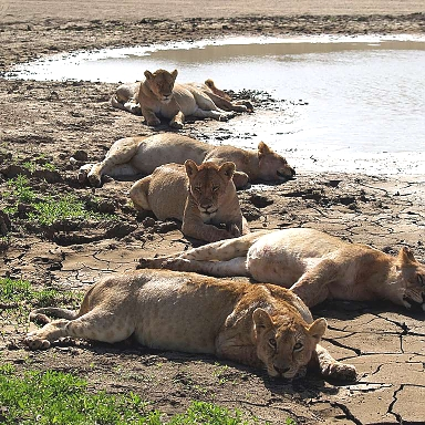 Lions in Ruaha Park