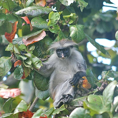 Red Colobus in Jozani Forest Zanzibar