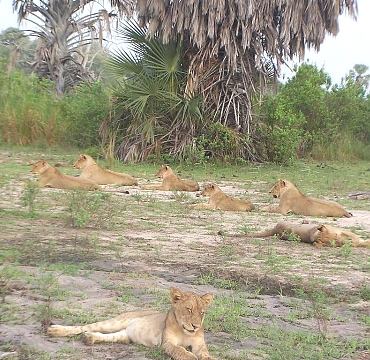 Selous Game Reserve Lions