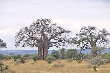 Baobabs in Tarangire National Park