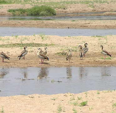 Wild Geese in the Ruaha National Park