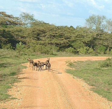 Wilddogs in the Selous