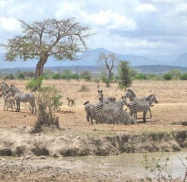 Zebras in Mikumi National Park