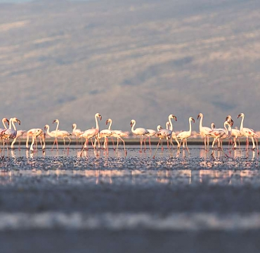Lake Natron Flamingos near Oldonyo Lengai